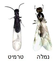 נמלים מעופפות או טרמיטים?
